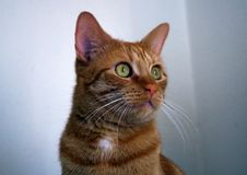 Cat. Portrait of redhead cat Mishu stock photos