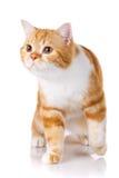 Portrait of redhead Scottish cat sits Royalty Free Stock Photo