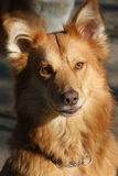 Portrait of redheaded mongrel dog Royalty Free Stock Photography