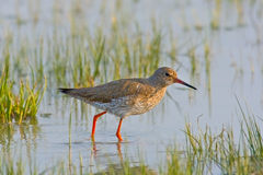Portrait of a redshank Stock Images