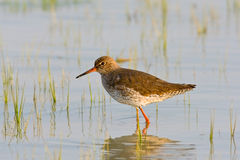 Portrait of a redshank Royalty Free Stock Images