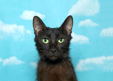 Portrait of a regal black cat, sky background. Portrait of one black and brown cat with vibrant green eyes looking at viewer. Blue background sky with clouds stock photography