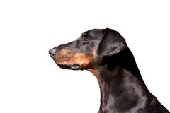 Portrait of a regal Dobermann Royalty Free Stock Images