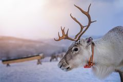 Reindeer with a massive antlers. Portrait of a reindeer with massive antlers pulling sleigh in snow, Tromso region, Northern Norway stock photos