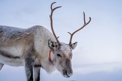 Reindeer with a massive antlers. Portrait of a reindeer with massive antlers pulling sleigh in snow, Tromso region, Northern Norway stock photography