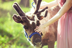 Portrait of reindeer next to the girl in the woods Royalty Free Stock Photo