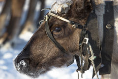 Portrait of a reindeer. Sharpness on eyes Stock Images