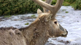 Portrait of reindeer in winter forest. Northern reindeer with horns in winter forest stock video footage