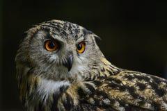 Portrait renversant de bubo de bubo d'Eagle Owl d'Européen photo libre de droits