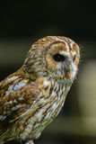 Portrait renversant de Tawny Owl Strix Aluco Photos stock