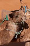 Portrait of a Resting Camel Stock Images