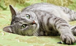 Portrait of resting cat close up, green eyes cat close up, only face, beautiful grey cat. In green background royalty free stock photos