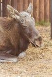 Portrait of resting Eurasian elk Royalty Free Stock Image