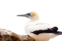 Portrait of resting gannet isolated on white Stock Images