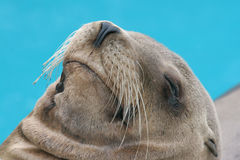 Portrait of resting sea lion. Close-up of resting Californian sea lion Stock Image
