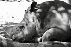 Portrait of a resting south white rhino, an African specie in danger with most of them living in South Africa Stock Image