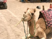 Portrait of a resting two-humped yellow desert beautiful camel with a harness that eats straw on the side of the sand in Egypt stock photo
