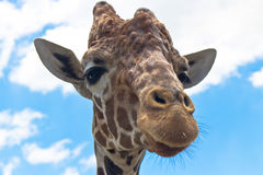 Portrait of a reticulated giraffe Stock Images