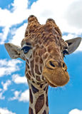 Portrait of a reticulated giraffe Stock Image