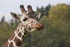 Portrait Reticulated Giraffe, Giraffa camelopardalis reticulata Royalty Free Stock Photography