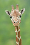 Portrait of Reticulated Giraffe Stock Photo
