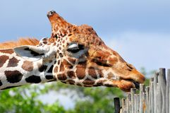 Portrait of Reticulated giraffe in zoo Royalty Free Stock Photography