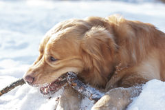 Portrait the Retriever gnaws stick Royalty Free Stock Images