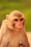 Portrait of Rhesus macaque (Macaca mulatta) Stock Images