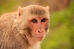 Portrait of Rhesus macaque (Macaca mulatta) Stock Photography