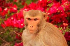 Portrait of Rhesus macaque (Macaca mulatta) Royalty Free Stock Image