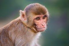 Portrait of Rhesus macaque (Macaca mulatta) Royalty Free Stock Images