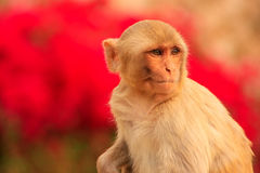 Portrait of Rhesus macaque (Macaca mulatta). In Galta Temple in Jaipur, India. The temple is famous for large troop of monkeys who live here Stock Image