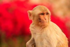 Portrait of Rhesus macaque (Macaca mulatta) Stock Image