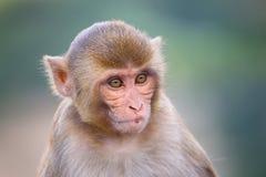 Portrait of Rhesus macaque (Macaca mulatta) Royalty Free Stock Photos