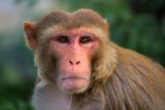 Portrait of Rhesus macaque (Macaca mulatta) Stock Photo
