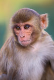 Portrait of Rhesus macaque (Macaca mulatta). In Galta Temple in Jaipur, India. The temple is famous for large troop of monkeys who live here Royalty Free Stock Image