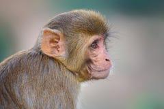 Portrait of Rhesus macaque (Macaca mulatta) Stock Photos