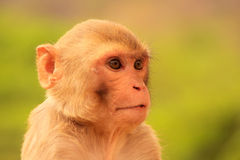 Portrait of Rhesus macaque (Macaca mulatta) Royalty Free Stock Photography