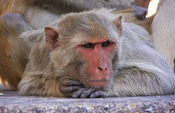 Portrait of Rhesus macaque, Taragarh Fort, Bundi, India Stock Photo