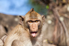 Portrait of a rhesus monkey Stock Photo
