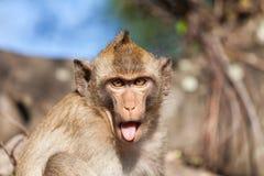 Portrait of a rhesus monkey Stock Photo