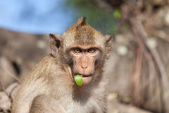 Portrait of rhesus monkeys Stock Photography