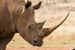 Portrait of a rhino Royalty Free Stock Image