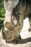 Portrait of rhino Stock Photography