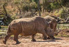Portrait of a rhino in the grass lands of a national park in south africa. A rhinoceros is standing in the grass lands of a national park in south africa. The royalty free stock photography