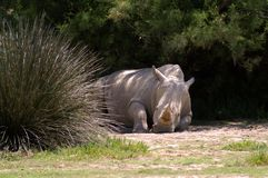 A white rhinoceros lies on the ground in the shade of tall grass and bushes royalty free stock image
