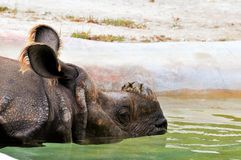 Portrait of rhino in water Royalty Free Stock Photo