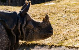 Portrait of a rhino in the wild. A Portrait of a rhino in the wild stock photo