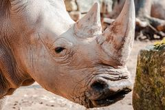 Portrait of a rhino in a zoo stock images