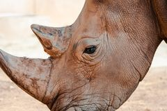 Portrait of a rhino in a zoo stock image